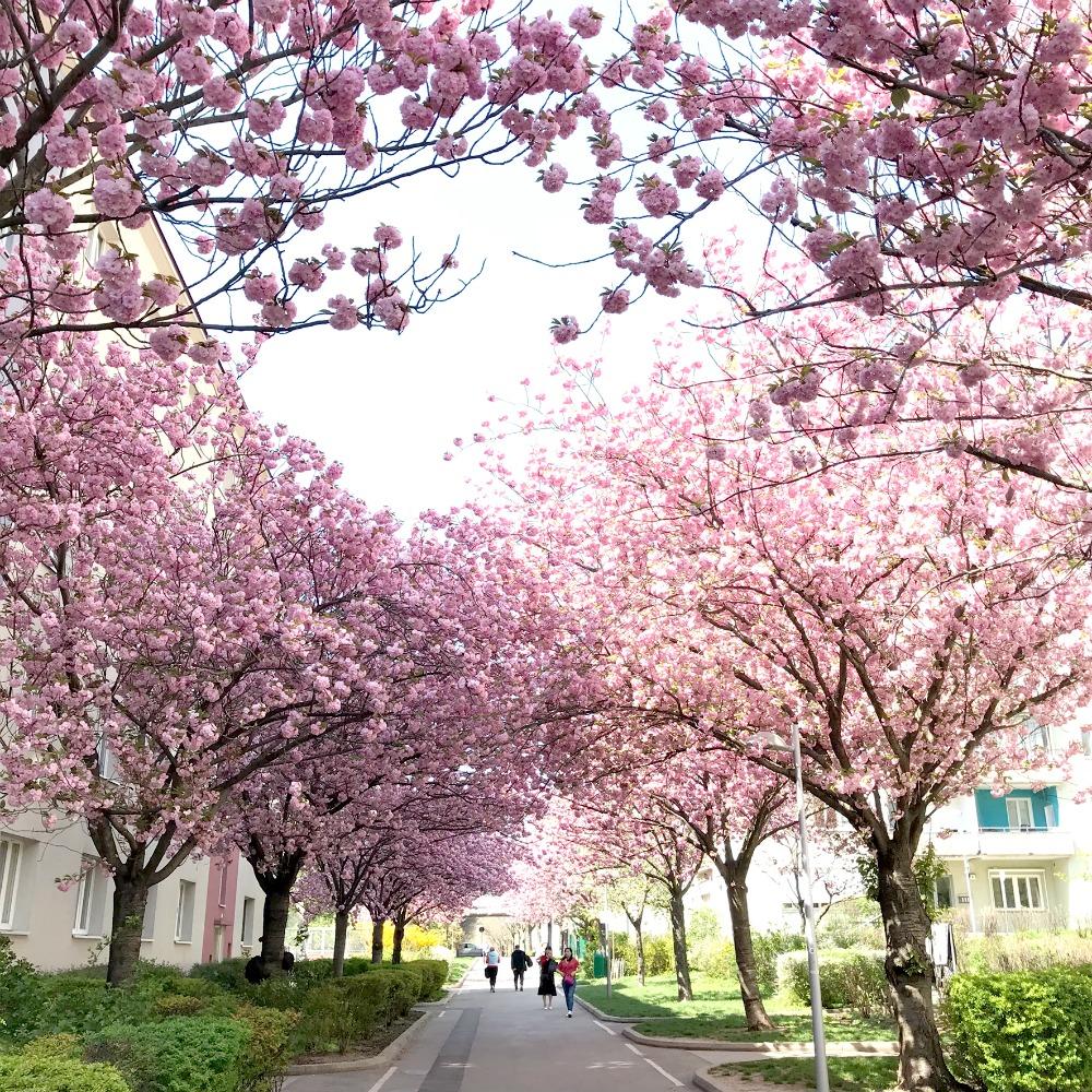 Kirschbluten Shooting Wien beste Fotolocation Fruhling Vienna Spring Schlachthausgasse
