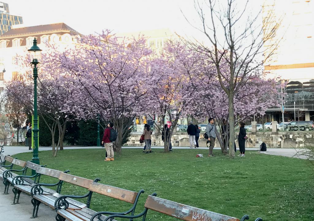 beste Kirschbluten Foto Location Wien Cherry Bloggom Vienna Spring